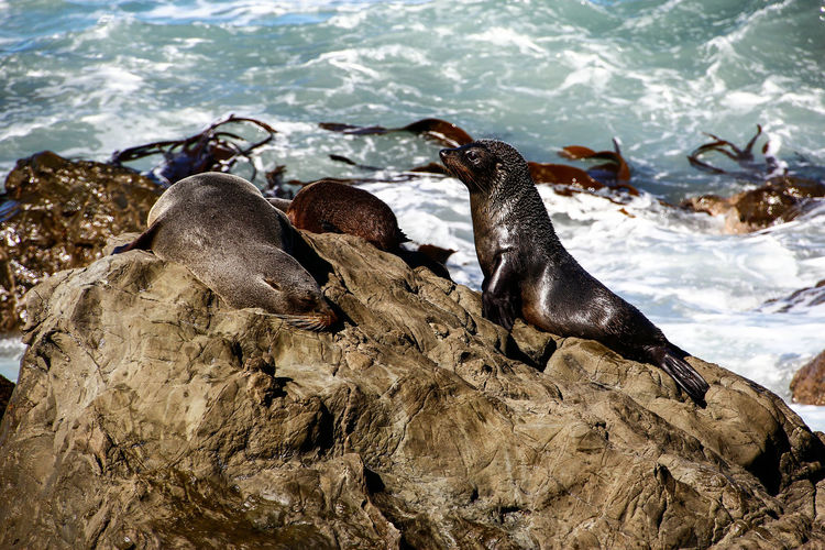 Seals relaxing on rock against sea
