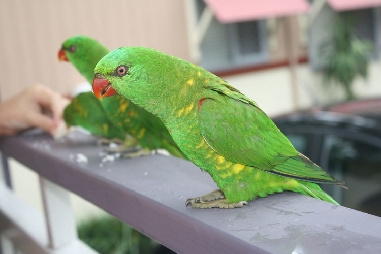 Animal Themes Animal Wildlife Animals In The Wild Bird Close-up Day Green Color Nature No People One Animal Parakeet Parrot Perching