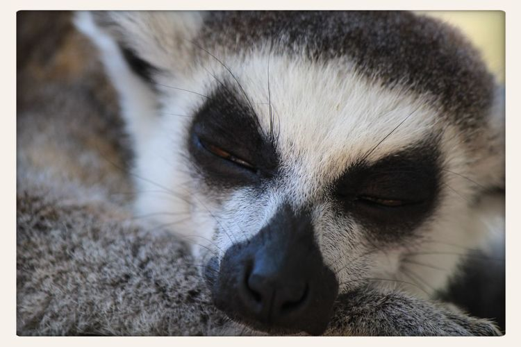 Selwo Adventure, Estepona Lemur Lemurs Lemur Sleeping Ringtailedlemur Wildlife Wildlife Closeup Wildlife Photography Wildlifephotography Wildlife & Nature Beautiful Animals  Wildlife Photograhy Wildlife Photos Lemur Face Ring Tailed Lemur Sleeping Lemur Animal Face