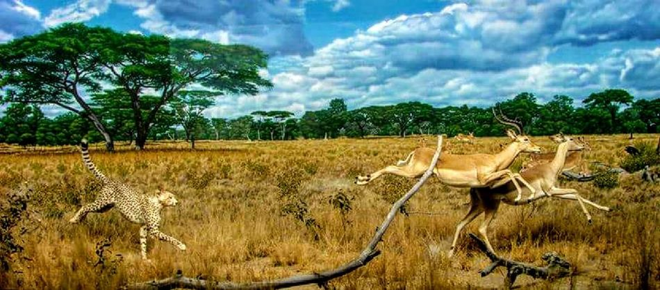 Nature Cloud - Sky Animal Themes Field Sky Animal Wildlife Rural Scene No People Animals In The Wild Outdoors Day Landscape Mammal Beauty In Nature Scenics Cheetah Gazelles Wildlife Hunting African Wildlife