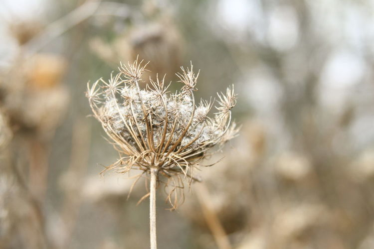 Autumn Queen Anne's Lace Wildflower Winter Beauty In Nature Brown Close-up Day Dead Plant Dried Plant Dry Flower Flower Head Focus On Foreground Fragility Gray Growth Nature No People Outdoors Plant Plant Pod Thistle Wilted Plant