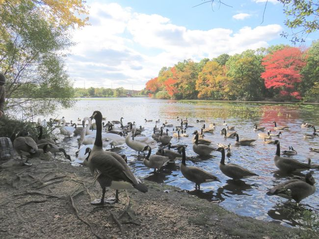 Large group of birds swans and ducks and geese landscape tranquil scene beauty in nature autumn colored trees water reflections blue skies and white fluffy clouds EyeEm nature lover Animals In The Wild Animal Themes Nature No People