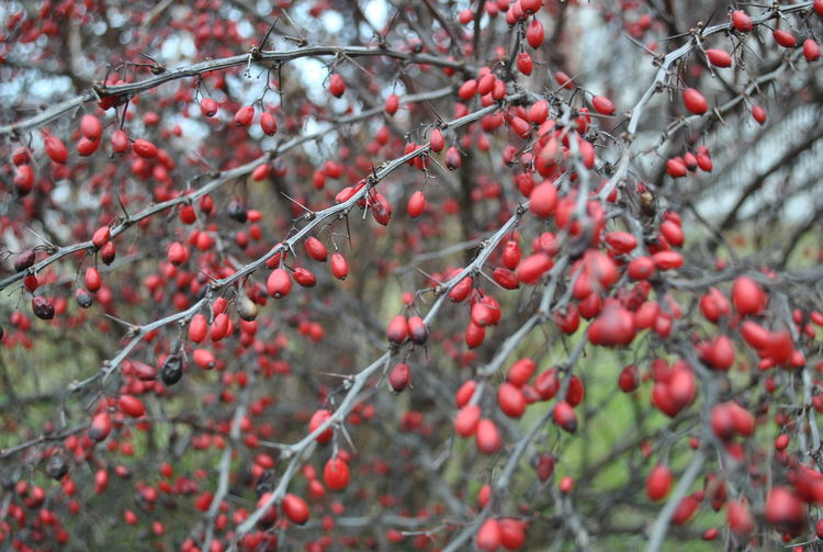 Beauty In Nature Berry Fruit Close-up Fruit Nature Red Tree Wintertime Shades Of Winter