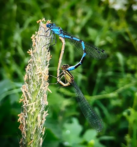 Mating Damselflies Animal Animal Themes Animal Wildlife Animal Wing Animals In The Wild Close-up Damselfly Day Focus On Foreground Green Color Insect Invertebrate Nature No People One Animal Outdoors Plant