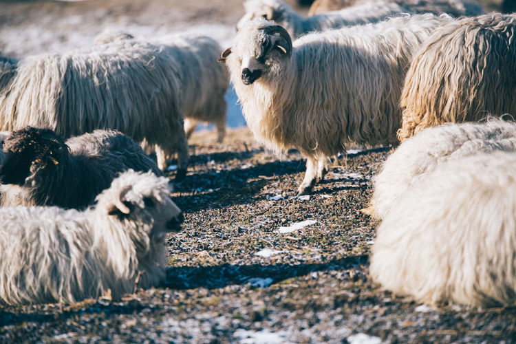 Sheep standing on ground