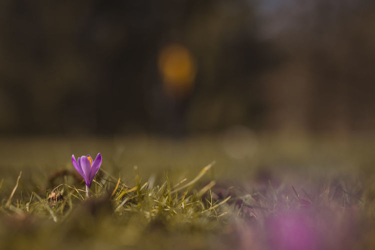Close-up of pink crocus flowers on field