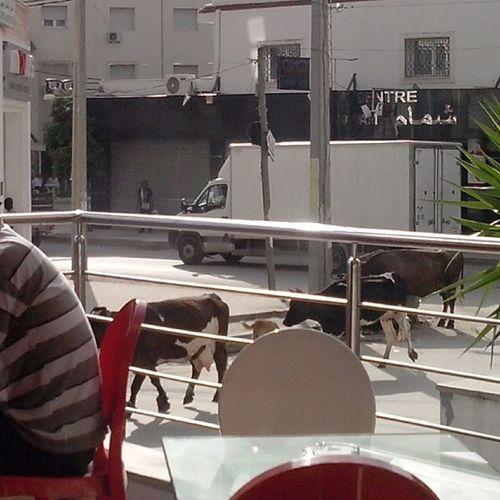 Nos vaches vous disent bonjour :))) Live Tunis Laouina Tunisie Tunisia
