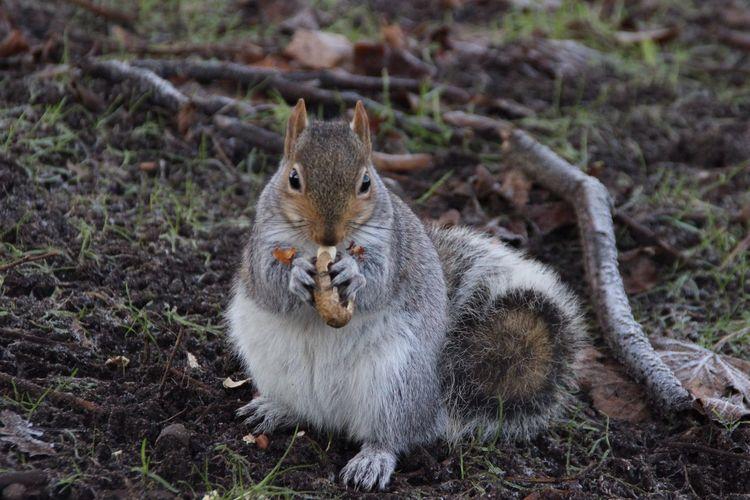 Portrait of squirrel feeding in forest