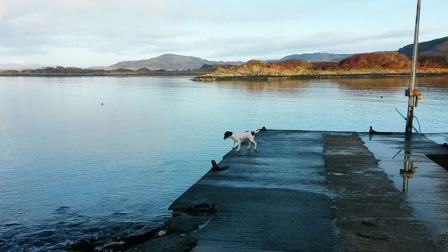 My Sprocker, pre 'diving in' stance 😆 Sprocker Spaniel Dog My Dog Lunatic Yampy Scotland Jetty Pier Sea Argyll Argyll And Bute West Coast Diving