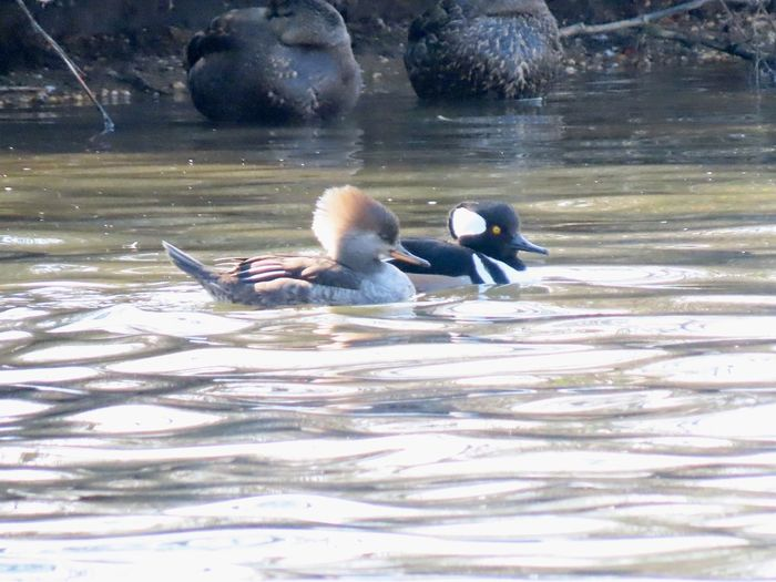 Two ducks swimming hooded mergansers male and female water ripples birdwatching Birds of EyeEm beauty in nature animal themes Animal Wildlife Water No People
