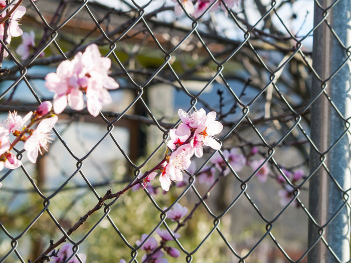 Close-Up Of Pink Flowers And Chainlink Fence Against Sky