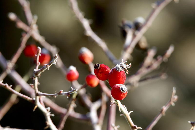Wintertime,Germany Beauty In Nature Berry Fruit Branch Close-up Day Focus On Foreground Food Food And Drink Freshness Fruit Growing Growth Hagebutten Nature No People Outdoors Plant Red Rose Hip Rowanberry Tree Twig