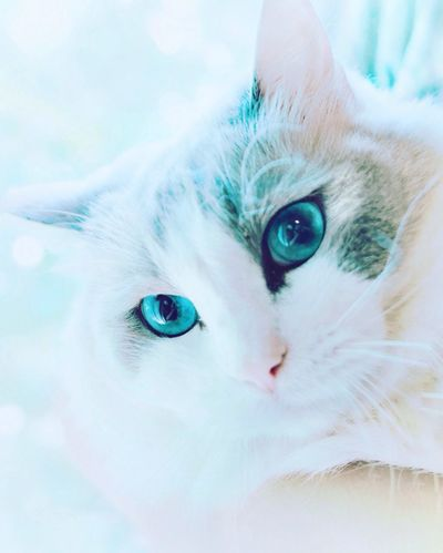 Pet Photography  Bright Colors Cat's Face Cat's Eyes Relaxed Cat Ragdoll Cat Lovers Blue Eyes