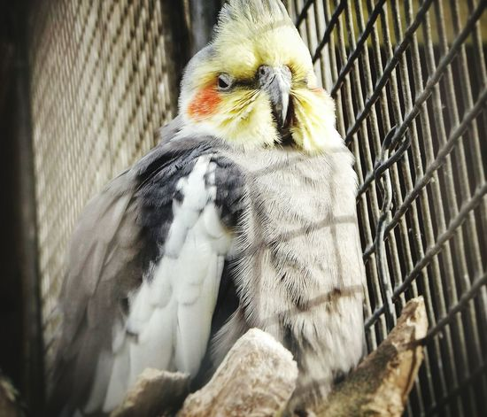Perching No People Outdoors One Animal Close-up Animals In Captivity Cage Birdcage Bird Budgies