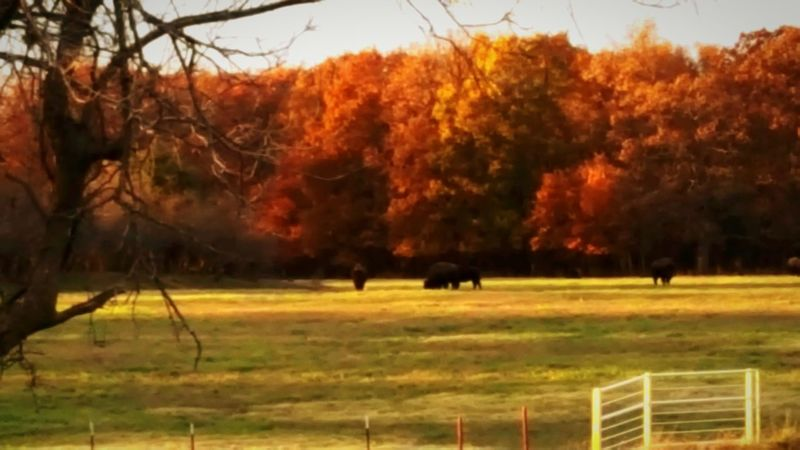 Fall Beauty Animal Themes Autumn Field Buffalo Landscape Beauty In Nature Grazing Outdoors No People Eyem And Getty Collection Buffalo Home On The Range Oklahoma Modoc Tribe Check This Out! Tranquil Scene From My Front Porch Nature Popular Colors Of Autumn Non-urban Scene Where I Live USA NativePride Finding New Frontiers Colour Your Horizn