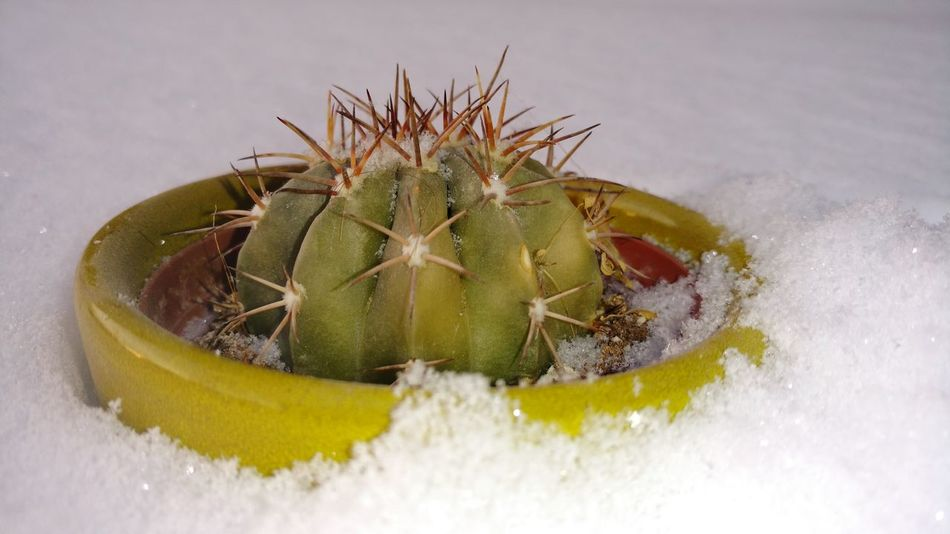 Thorn Cactus Nature Spiked Plant No People Green Color