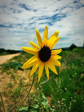 """""""Between Heaven And Earth"""" Beautiful Sunflower captured between blue sky and soft, white, clouds and the earthy realm from which its roots draw substance. Rural Landscape Rural Exploration New Mexico Newmexicophotography Newmexico Flowers Wildflowers In Bloom Wildflowers Clouds And Sky Newmexicoskies Sunflowers🌻 Sunflowers Sunflower"""