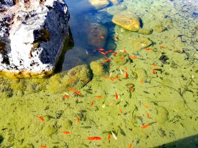 High Angle View Yellow Day No People Outdoors Close-up Animal Themes Nature Goldfish In Water Goldfishpond Water Goldfish Goldfishes Fish Swarm