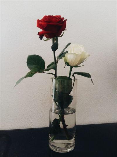 #Rose Springtime Flowerrose Rose - Flower Loveroses Photography Favoriteflower Favourite Roses Redrose  Whiterose Rosa Rosas Photo Flores Teruel Water Flower Vase Petal Fragility