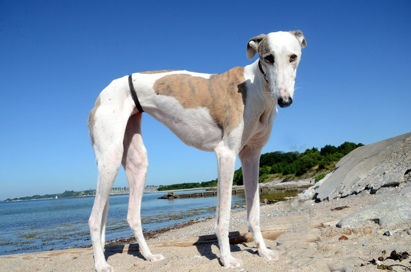 White horse standing on beach against clear sky