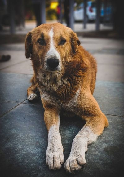 Dog Pets One Animal Domestic Animals Portrait Animal Themes Mammal No People Outdoors Day Sitting Close-up