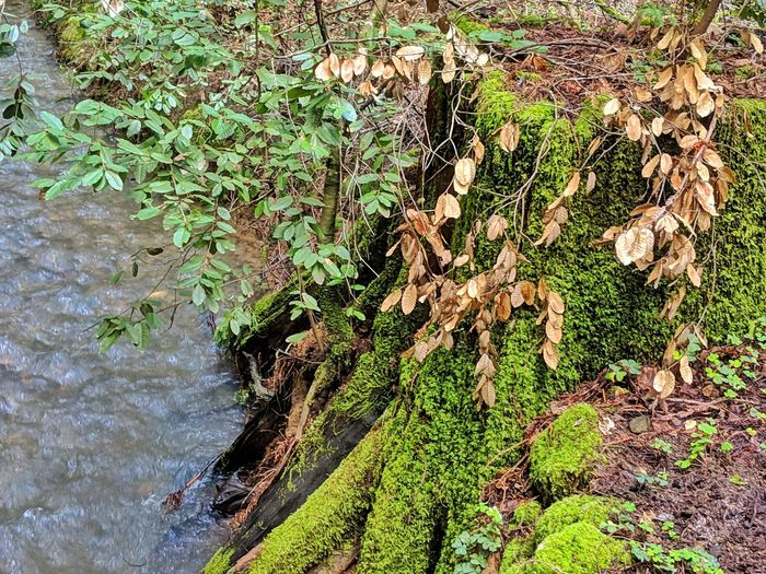 Golden leaves at stream edge. Moss covered logs line bank of water. Golden Leaves Blue Water Flowing Rippling Ripples Edge Ligs Algae Litchen Green Humid Wet Tree Water High Angle View Close-up Plant Leaves Leaf Vein Growing Change Fungus Moss Creeper Lush Greenery Young Plant Branch