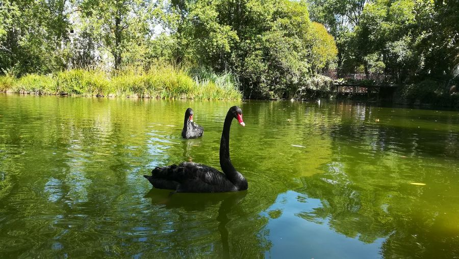 Water Reflection Lake Outdoors Nature Day Togetherness Bird Tree Real People Animals In The Wild Men Swimming Beauty In Nature Adult Black Swan People Adults Only Only Men