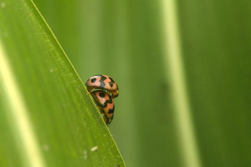 Close-Up Of Ladybugs Mating On Leaf