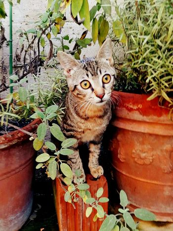 Cucciolo Gatto😸 Cat Wheather Love Plants Piante Vasi Rosmary Salvia Gatto Domestic Animals No People Growth Looking At Camera Animal Themes Domestic Cat Potted Plant Plant One Animal Outdoors Pets Portrait Nature Feline Day Close-up Leaf Mammal Sitting