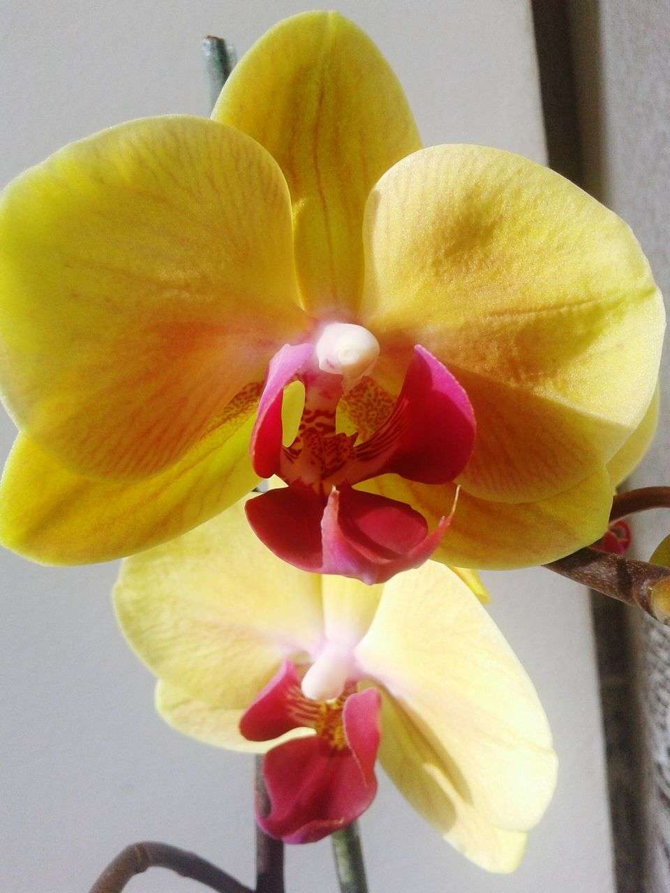 flower, petal, flower head, yellow, fragility, beauty in nature, freshness, close-up, no people, nature, growth, blooming, day, orchid, frangipani, indoors