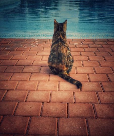 Cat Contemplating over a Swimming Pool Water Cats Tail Cat Tail Thoughtful Tortoise Tortoiseshell Catsofinstagram Pets Pet Animals Animal Animal Photography Animal_collection Thinking Looking To The Other Side Watching Animal Themes Cat Looking Across Water Patient Cat Friendly Cat Contemplate