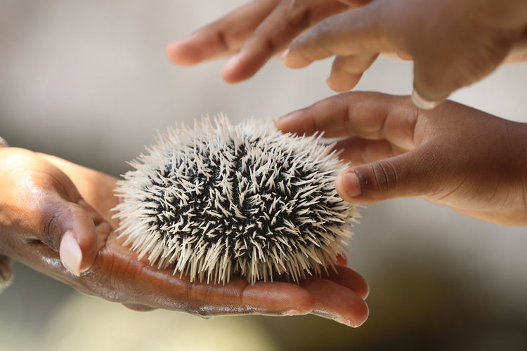 Animal Themes Careful Childhood Close-up Day Holding Human Body Part Human Hand Learning Leisure Activity One Person Real People Sea Urchin Touching