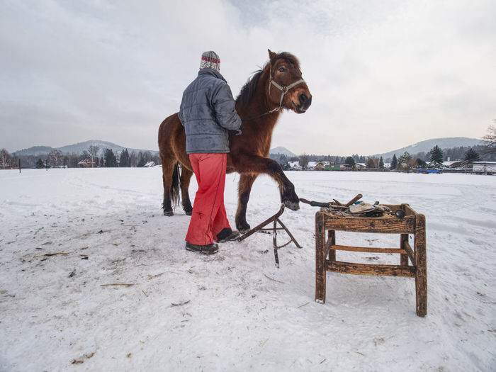 Farm staff prepare horse for hooves clearing by backsmith. regular horse farm care.