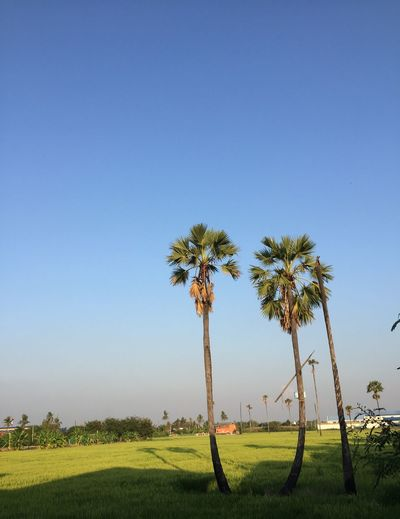 The fields are near to harvest. Field Tree Growth Beauty In Nature Nature Blue Clear Sky Palm Tree Day Outdoors No People Grass Stories From The City Stories From The City