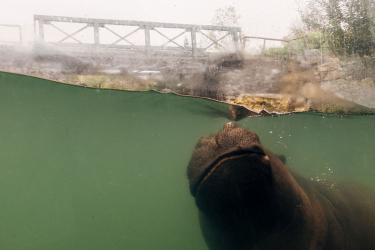Close-up of hippopotamus swimming in river