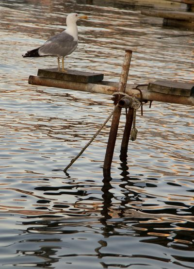 Seagull perching on water