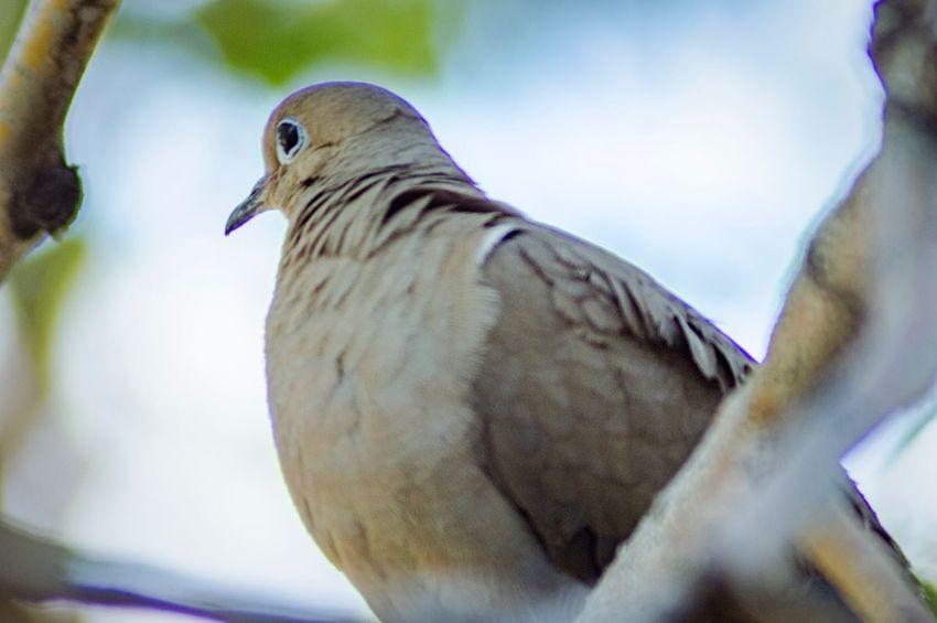 Bird Watching From Below EyeEm Selects Bird Animal Themes Vertebrate Animal Wildlife Animal Animals In The Wild One Animal Close-up Focus On Foreground Perching No People Dove - Bird Mourning Dove Nature Low Angle View Beauty In Nature Selective Focus Tree