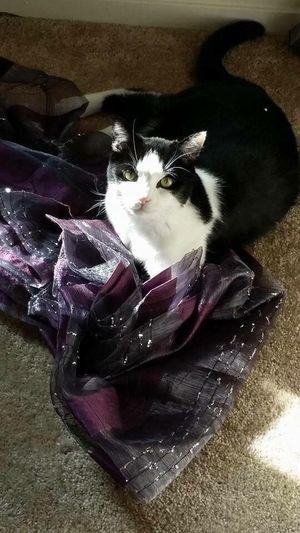 Pet Portraits Domestic Cat Feline Cat High Angle View Indoors  Master Bentley Sparkle