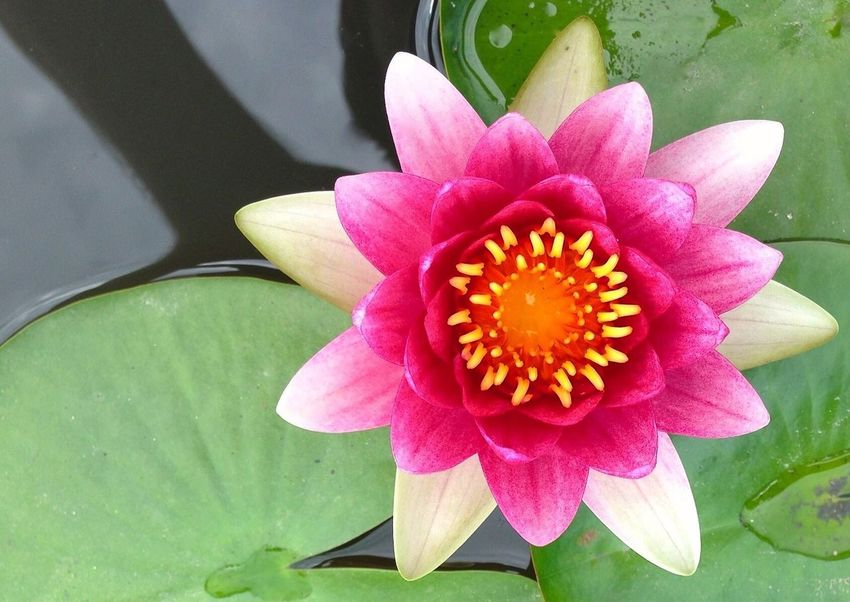 Loto Lotoflower Flower Freshness Fragility Petal Flower Head Close-up Water Lily Leaf Water Simplicity Blossom Growth Pink Color Beauty In Nature Selective Focus Single Flower Nature Lotus Water Lily In Bloom Stamen