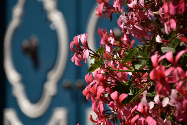 Architecture Blue Door Blue Close-up Day Door Flower Flower Head Flowering Plant Fragility Freshness Growth Inflorescence Nature No People Outdoors Petal Pink Color Plant Pollination Purple Selective Focus Vulnerability