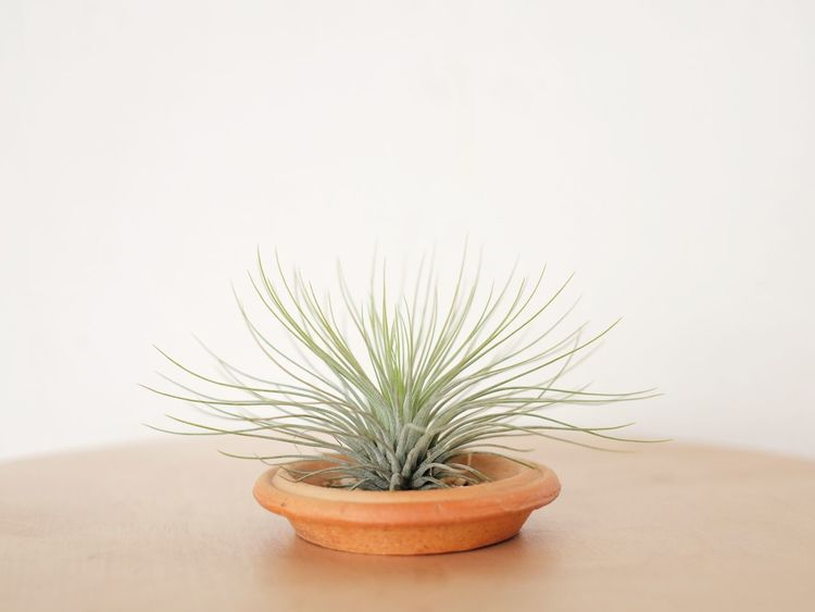 Tillandsia Plant Air Plants