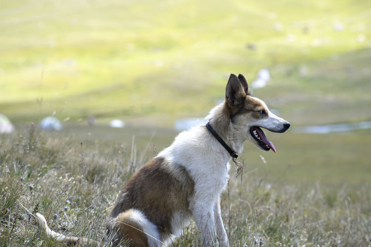 Kyrgyzstan Animal Animal Themes Canine Dog Domestic Domestic Animals Field Focus On Foreground Grass Land Looking Looking Away Mammal Mouth Open Nature No People One Animal Outdoors Pets Plant Shepherd Dog Vertebrate