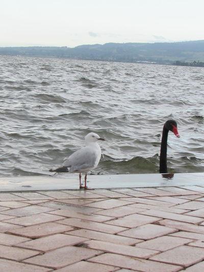 Friendly discussion New Zealand Rotorua  Rotorua Lake Friends Discussion Myway Bird Water Sea Beach Animal Themes Seagull Swan Black Swan
