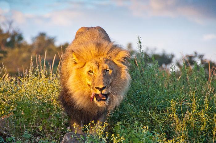 Lion feeding at sunset Amani Lodge Animal Themes Animal Wildlife Animals In The Wild Lion - Feline One Animal Safari Animals Windhoek, Namibia