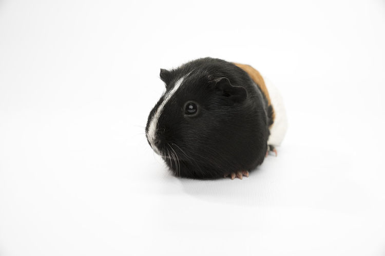 Close-up of guinea pig against white background