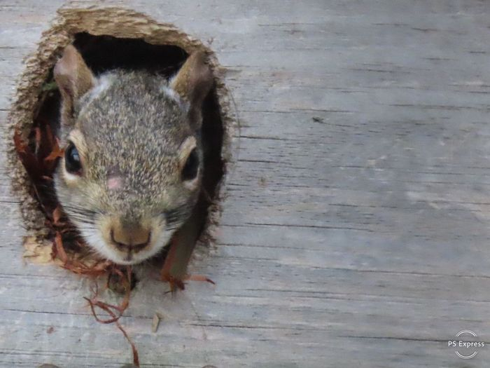 One squirrel headshot closeup inside his house wooden structure Animal Themes Rodent Animal Wildlife No People Looking At Camera