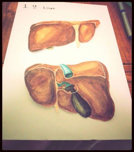 Drawing Liver Anatomy Homework Omg
