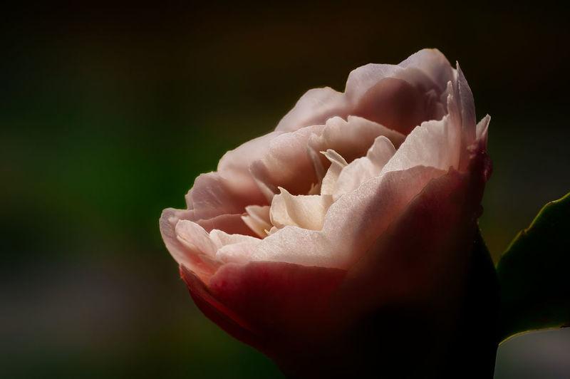 Close-up of rose flower against black background
