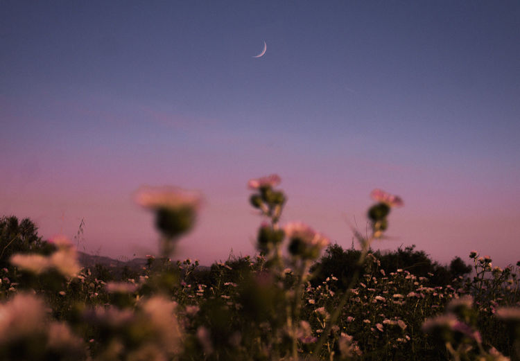 Plant Beauty In Nature Sky Growth Tranquility Selective Focus Moon No People Nature Flower Tranquil Scene Flowering Plant Scenics - Nature Land Field Fragility Vulnerability  Outdoors Sunset Astronomy