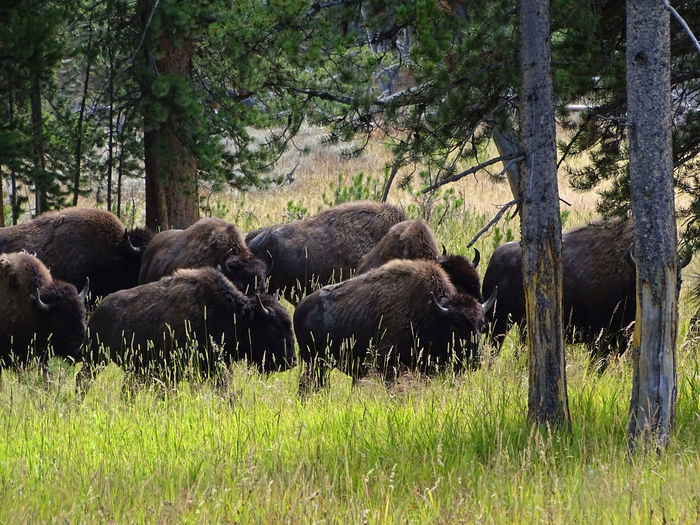 Animals In The Wild EyeEm Best Shots EyeEm Nature Lover EyeEmNewHere USA Wyoming Yellowstone Yellowstone National Park Yellowstone Wildlife American Bison Animal Themes Animal Wildlife Animals In The Wild Beauty In Nature Day Grass Grazing Mammal Nature No People Outdoors Tree